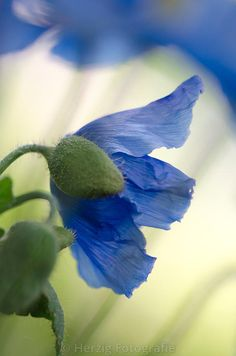 Photo Meconopsis betonicifolia - Himalaya-Scheinmohn by Tina & Horst Herzig Photography All Flowers, Flowers Nature, Exotic Flowers, Amazing Flowers, Fresh Flowers, Beautiful Flowers, Poppy Flowers, Blue Poppy, California Poppy