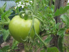 Potager gratuit / Recueillir des pépins de tomates, en variant les sortes (tomates-cerises, coeurs de boeuf...) de poivron, de melon, et aussi des fèves. - mettre en terre, dans des pots, avec du terreau.