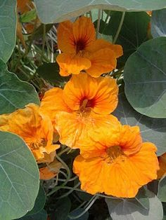 Nasturtium, Flora, Herbs, Plants, Garden, Vegetable Garden, Beautiful Flowers, Herb Co, Flowers