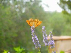 """Papillon le """"tabac d'Espagne"""" sur la lavande du jardin"""