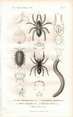 Spider Millipede Woodlice 1853 Antique Entomology Print A