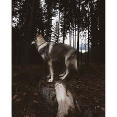 Princess by nature, Queen by the choice  #travelwithmaya #dnescestujem #hikingwithdogs #stayandwander #roamtheplanet #Exploretocreate #folkgood #mobilemag #wolfdog #exklusive_shot #czechoslovakianwolfdog #lifeofadventure #adventurethatislife