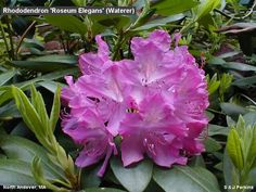 R. roseum elegans.  Prefers partial shade in moist well-drained soil. Height 2m Spread 2m (Evergreen).  90l