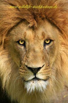 Funny Wildlife, Lion King!! by Jens Klingebiel