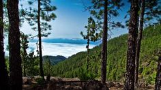 Teide Forest