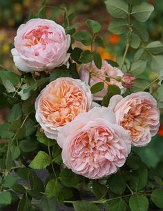 Evelyn Rose David Austin Shrub habit bears giant apricot colored flowers of a shallow saucerlike shape This is not the most vigorous of English Roses but the individual.