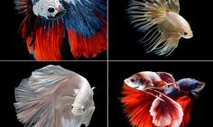 Stunning pictures of Siamese fighting fish seeming to float in mid-air #DailyMail