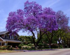 I like the whimsical look of the jacaranda tree. Trees And Shrubs, Flowering Trees, Trees To Plant, Deciduous Trees, Garden Trees, Garden Plants, Pot Plants, Fast Growing Shade Trees, Tree Seeds