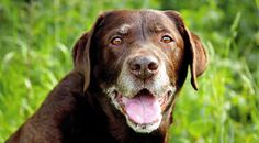 Many dogs are diagnosed with arthritis. However, dogs often live long, happy and otherwise healthy lives with the condition. Find out how here.