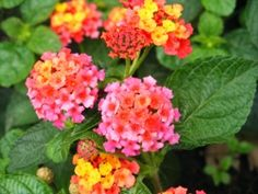 Propagating Lantana, my grandmother always grew these beautiful plants