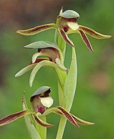 Rattle Beak orchid