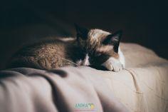 """Animafoto è una sessione speciale del mio sito tutta dedicata al mondo animale. Lui Sheva, ormai per tutti """"il ciccione"""", sul divano da 15 anni a questa parte!  www.jessicagranata.com"""