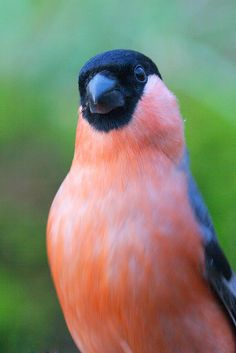 Pink and blue bird. Pretty Birds, Love Birds, Beautiful Birds, Exotic Birds, Colorful Birds, Bullfinch, British Wildlife, Bird Wings, Kinds Of Birds