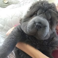 1) What do you think about the Bear-Coat Shar-Pei?