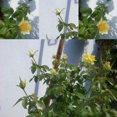a puro rosas amarillas .