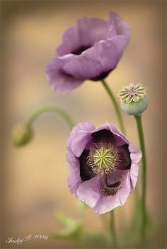 Pastels Poppies by Jacky Parke
