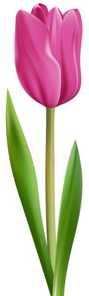 Tulip Pink Transparent Clip Art Image
