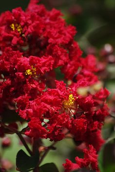 Dynamite Crape Myrtle is one of the few, if not the only, true red crape myrtle.   Copyright 2014 Robyn Stacey Photography. All rights reserved