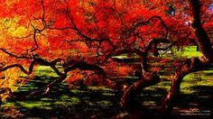 types and names of japanese maples - Google Search