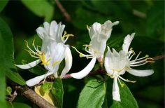 Äkta Kaprifol. En mytomspunnen klätterväxt som doftar fantastiskt! Växter starkt och bildar ljusgula blommor i början av sommaren. På hösten kommer orangeröda frukter som är giftiga.