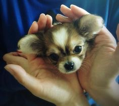 baby Chihuahua, just like a wee fox or red panda