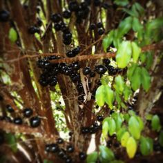 jaboticaba fruits of the gods. soo yummy. a little like a lychee. makes fabulous jam too