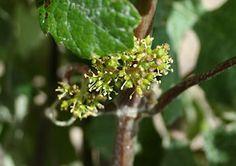 Raisin en fin de fleur fin juin 2012.  Grape in flower June 2012