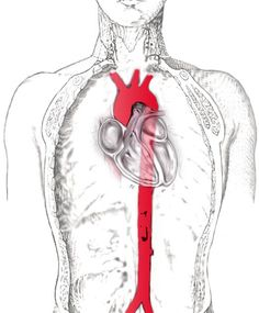 """( Adopted from""""Learn about your heart… Made simple"""" by Nicolas W. Shammas, MS, MD, FACC, FACP) The heart is a pump that distributes blood. Heart Structure, Muscular System, Blue Lotus, Circulatory System, Blood Vessels, Your Heart, Knowing You, Told You So, Olivia Baker"""