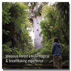 The Waipoua Forest is a truly magical and breathtaking experience - home to Tane Mahuta the world's biggest known kauri tree