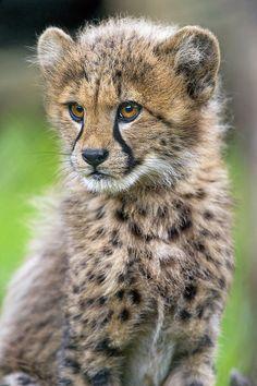 Sitting cute cheetah
