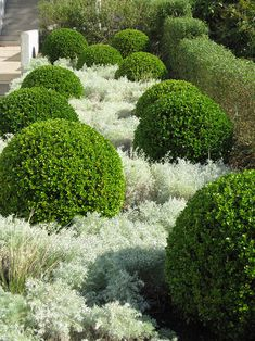 Boxwoods and artemesia( ?)