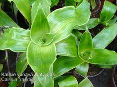 Kalisie vonná (Calisia fragrans) :: Zahradní centrum Opočno