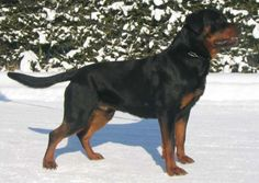 Male Rottweiler 1 year old