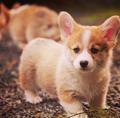 Cute Corgi Puppies ever - Million Pictures Cute Corgi, Cute Puppies, Dogs And Puppies, Puppies Tips, Cutest Puppy, Fluffy Puppies, Cute Baby Animals, Animals And Pets, Funny Animals