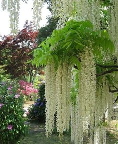 Ashikaga Flower Park, Japan's Tochigi Province, famous for various kinds of Wisteria. The Park has a 100 years old wisteria. About 160 wisteria at 60 years old. azaleas or at more than 60 years old. White Wisteria, Wisteria Tree, Wisteria Garden, Wisteria Tunnel, Wisteria Japan, The Secret Garden, White Gardens, Flowering Trees, Dream Garden
