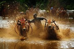 Cow Race. Cow race is a traditional sport from Minangkabau West Sumatra, Indonesia.