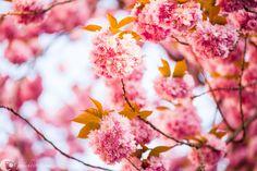 Kirschblüte, Altstadt, Bonn, Heerstraße
