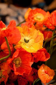 Yellow and orange poppies