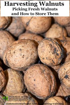 Harvesting walnuts – How to pick English walnuts, plus tips for preventing bitter walnuts, drying walnuts, walnut storage and walnut use. Lorraine, Walnut Uses, English Walnut, Edible Plants, Fruit Plants, Wild Edibles, Preserving Food, Fruits And Vegetables, Veggies