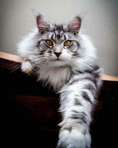 When it comes to Maine Coon Vs Norwegian Forest Cat both can make good pets but have some traits and characteristics that are different from each other Cute Cats And Kittens, Cool Cats, Kittens Cutest, Beautiful Cat Breeds, Beautiful Cats, Maine Coon Kittens, Ragdoll Kittens, Bengal Cats, Kitty Cats