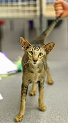 Someone from Alberta is cheating cat lovers by selling them shaved kittens. These shaved kittens were sold in the market as the hairless Sphynx cats. Pretty Cats, Beautiful Cats, Animals Beautiful, Animals And Pets, Cute Animals, Oriental Shorthair Cats, Gatos Cool, Animal Gato, Oriental Cat