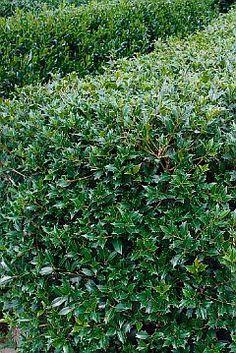Osmanthus heterophyllus (schijnhulst) heeft groenblijvend hulstachtig blad en in de herfst zoetgeurende, witte trosjes bloemen. Groeit vrij langzaam (dus beter wat grotere maten kopen) en wordt (ongesnoeid) ca. 3 m hoog. Deze soort doet het ook goed in halfschaduw. Er zijn ook bontbladige cultivars.