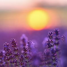 lavender by x0o0y #nature #mothernature #travel #traveling #vacation #visiting #trip #holiday #tourism #tourist #photooftheday #amazing #picoftheday