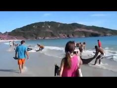 # Stuff like this makes me proud to be human....30 dolphins stranded watch what happens next