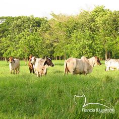#Montería #Ganadería #Colombia #Pasion @asocebu @fedegan #HaciendasFranciaYLusitania