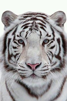 White tiger- the jewel of nature
