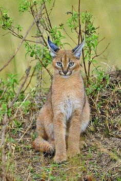 """The caracal is a medium sized cat which it spread in West Asia, South Asia, and Africa. The word Caracal is from Turkey """"Karakulak"""" which means """"Black Ears"""". Here is all about caracal as a pet. Cute Cats And Kittens, Big Cats, Kittens Cutest, Lynx, Rare Animals, Animals And Pets, Caracal Caracal, Beautiful Cats, Animals Beautiful"""