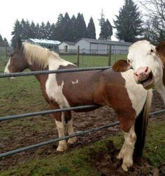 Looks like the cow is laughing at the horse's predicament.
