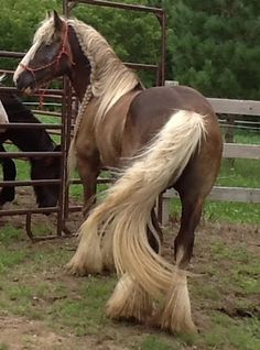 Kastle Rock Farms - Index - Gypsy Vanner Horses look at that main and tail!