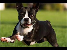 Boston Terrier Dog Show 2016 WKC Westminster Kennel Club